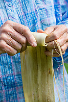 Kapa making on the Big Island: A woman rolls a wauke (paper mulberry) strip into a bundle so it is ready to soak in sea water, in preparation to make kapa.