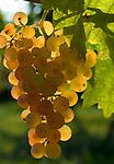 Italien, Umbrien, Weinbau in Umbrien: Weintrauben Italy, Umbria, wine growing in Umbria: grapes
