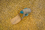 """Farmers work to collect tonnes of potatoes in the annual harvest in Joypurhat, Bangladesh.<br /> <br /> The images were taken by Rafid Yasar, a student from Bogura.<br /> <br /> Rafid said, """"There is about 500 metric tonnes of potatoes on this farm.  They are exported abroad as well as nationwide.  The farmers don't earn very much for their work despite this - as little as 10 pence per kilogram.""""<br /> <br /> """"Over the winter, this area exports the largest amount of potatoes across the country.""""<br /> <br /> Please byline: Rafid Yasar/Solent News<br /> <br /> © Rafid Yasar/Solent News & Photo Agency<br /> UK +44 (0) 2380 458800"""