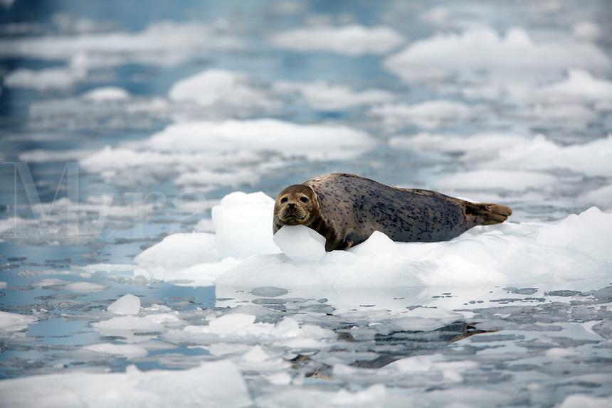 Harbor Seals on icebergs in Surprise Inlet, Surprise Glacier, Harriman Fiord, Prince William Sound, Chugach National Forest, Alaska.