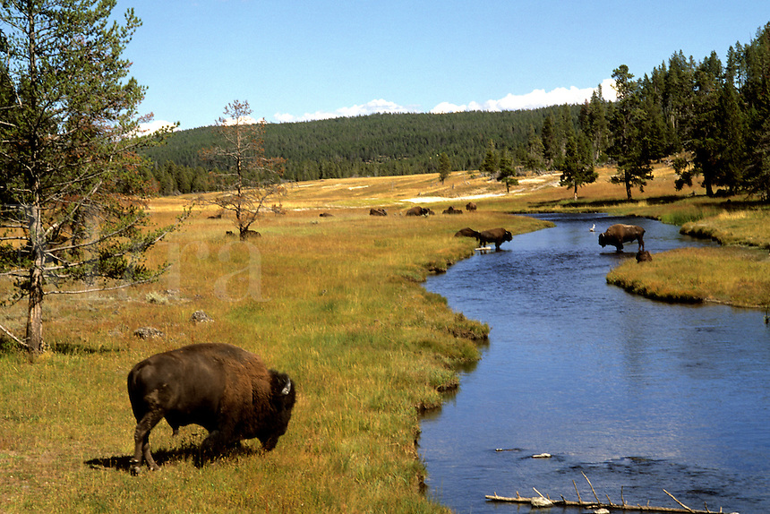 Nez Perce Creek with bison grazing in the water at Yellowstone National Park in Wyoming