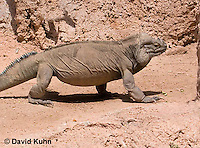 0627-1106  Rhinoceros Iguana, Haiti and Dominican Republic, Cyclura cornuta  © David Kuhn/Dwight Kuhn Photography