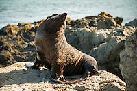 New Zealand fur seal, Arctocephalus forsteri, in Kaikoura, Marlborough Region, South Island, East Coast, New Zealand