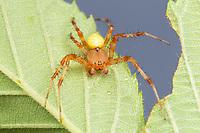 Shamrock Orbweaver (Araneus trifolium) - Male