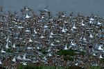 Western Sandpiper flock taking flight.