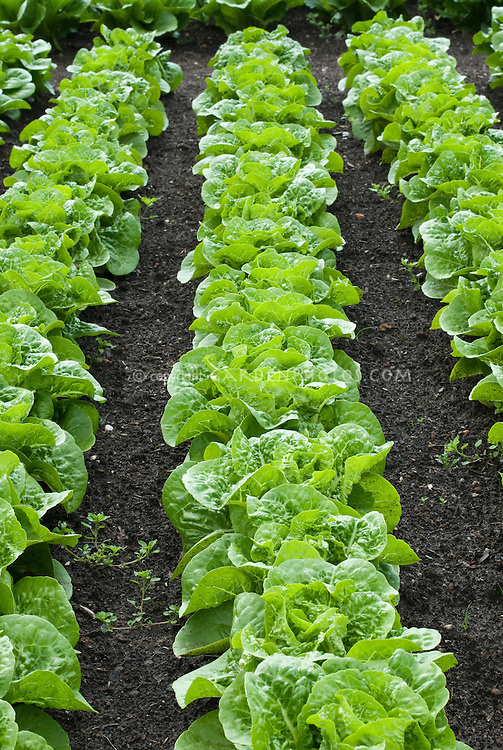 Lettuce 'Winter Density' growing in rows in good black garden soil in vegetable ground, early compact romaine