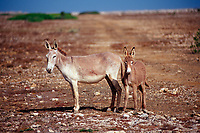 Wild donkeys, Netherland Antilles, Caribbean, Atlantic, Bonaire, Bonaire