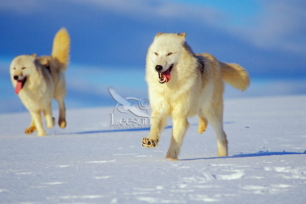 Arctic Wolves or Arctic Gray Wolves (Canis lupus)