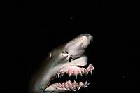 sand tiger shark or grey nurse shark, Carcharias taurus (fomerly Eugomphodus taurus ), at night, New South Wales, Australia, Pacific Ocean