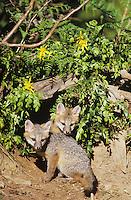 Gray Fox (Urocyon cinereoargenteus), young at den, captive, USA