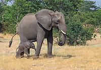 Elephant (Loxodonta africana), Chobe NP, Botswana, Africa