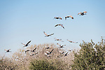 Damon, Texas; twenty sandhill cranes taking flight from a pasture up over the trees against a blue sky in early morning sunlight