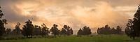 Sunset with old totara tree on farmland in Whataroa, South Westland, West Coast, New Zealand, NZ