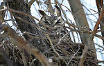 A great horned owl nests at the Dangberg Ranch in Minden, Nev., on Tuesday, April 9, 2019.  <br /> Photo by Cathleen Allison/Nevada Momentum