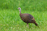 Hen wild turkey walking in a northern Wisconsin field.