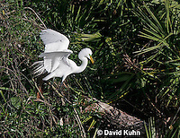 0310-0879  Great Egret Displaying Breeding Plumage, Ardea alba © David Kuhn/Dwight Kuhn Photography