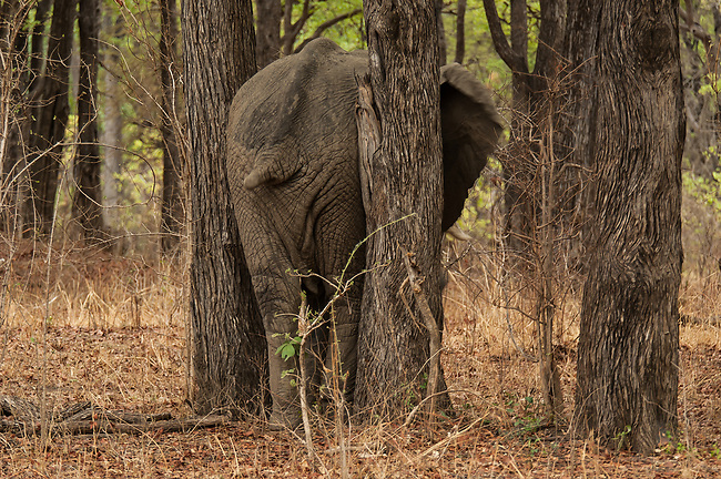 Stuck! Elephant scratching his bum