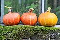 Squash 'Orange Queen', a small 'kabocha' type with orange skin and sweet orange-yellow flesh, mid October.