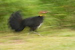 Moving Australian Brushturkey or Australian Brush-turkey, (Alectura lathami), also called the Scrub Turkey or Bush Turkey