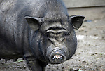 Austria, Tyrol, Stubai Valley: pot-bellied pig
