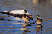 Wood Duck drakes in spring snow..British Columbia, Canada..(Aix sponsa).