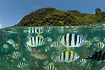 Sergeant major damselfish (Abudefduf vaigiensis), parrotfish and wrasses in the house reef of Miniloc Island Resort. These fish come otgether densely when bread is thrown into the water by staff from the eco-resort. Split level image