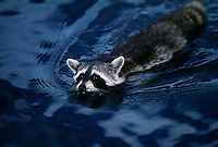 A raccoon swims across the blue waters of the St. Marys River. <br /> The St Marys River divides Florida and Georgia, flowing out of the Okefenokee Swamp to the Atlantic Ocean.