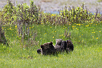 This sow grizzly took time to nurse her cubs in the Lamar Valley.