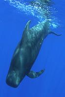 short-finned pilot whale, Globicephala macrorhynchus, Kona Coast, Big Island, Hawaii, USA, Pacific Ocean