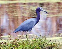 Adult little blue heron