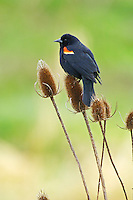 Red-winged Blackbird (Agelaius phoeniceus) male.  Pacific Northwest.  Spring.