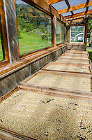 Raw coffee beans drying on palettes in the sun, Kaleo's Koffee, Pua'a Kea Farm, Pa'auilo, Hamakua area, Big Island.