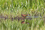Virginia rail on the edge of a wetland