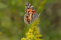American Painted Lady (Vanessa virginiensis) sips on September goldenrod nectar along shoreline of Lake Erie, Ontario, Canada..