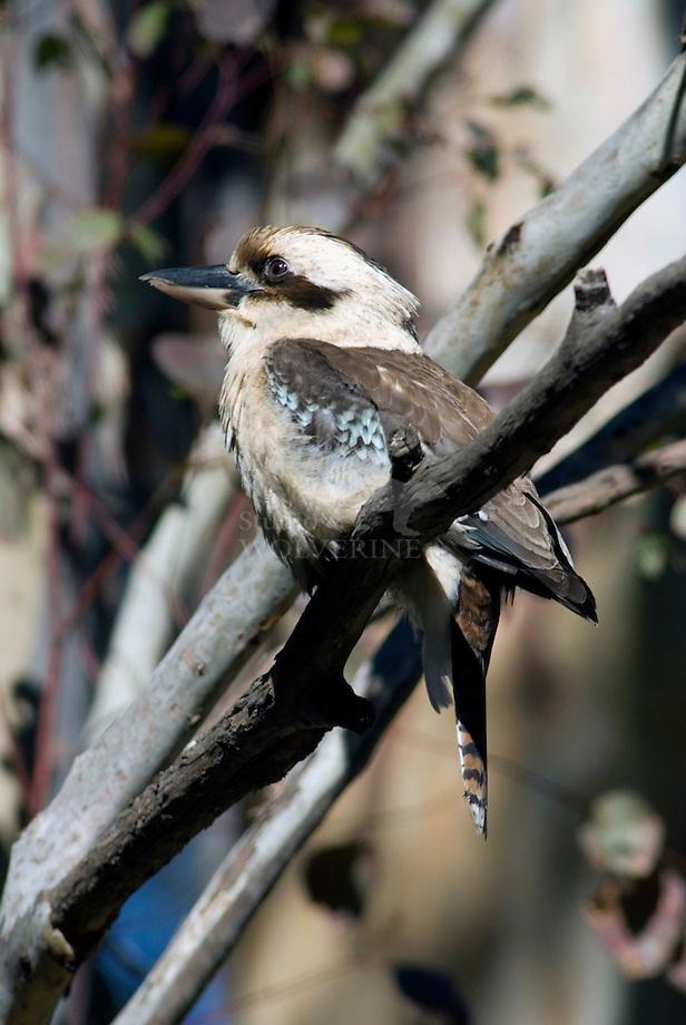 Kookaburra (Dacelo novaeguineae)