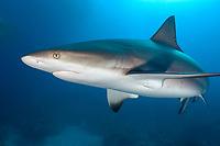 Caribbean reef shark, ampullae of Lorenzini visible on snout, Northern Bahamas, Carcharhinus perezii, Bahamas, Caribbean, Atlantic