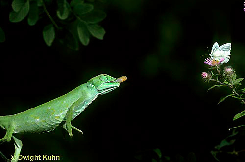 CH03-083z  African Chameleon - preparing to shoot out tongue to catch prey - Chameleo senegalensis