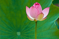 Bright pink lotus against green beautiful leaf