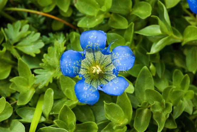 Mountain Gentian wildflower