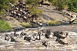 Herd of White-bearded Wildebeest (Connochaetes taurinus albojubatus) crossing the Mara River. Annual Serengeti-Masai Mara migration. Masai Mara Game Reserve, Kenya.