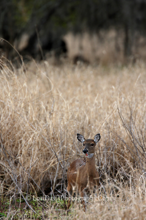 White-tailed Doe in Grasses