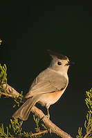 Black-crested Titmouse, Baeolophus atricristatus, adult on Mountain Cedar (Juniperus ashei), Uvalde County, Hill Country, Texas, USA, April 2006