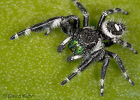 0412-07nn  Regal Jumping Spider - Phidippus regius © David Kuhn/Dwight Kuhn Photography