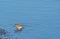 Least Sandpiper, Calidris minutilla, feeding in shallow water at Lower Klamath National Wildlife Refuge, Oregon