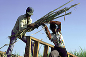 Haitian canecutters load a sugar train  on a  plantation in La Romana