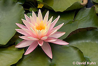 0723-1010  Full Bloom Water Lily - Nymphaea  © David Kuhn/Dwight Kuhn Photography