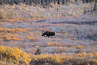 A moose browses in a frosty autumn meadow at Denali National Park.