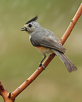 Black-crested Titmouse in the rain.
