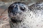 harbor seal female, close-up shot hauled out on ledge