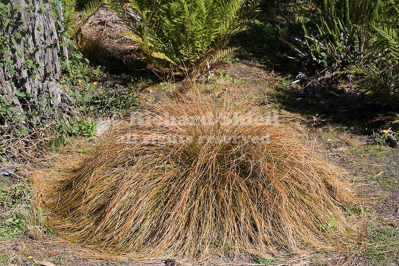 CAREX TESTACEA, ORANGE SEDGE GRASS